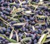 olives cueillir